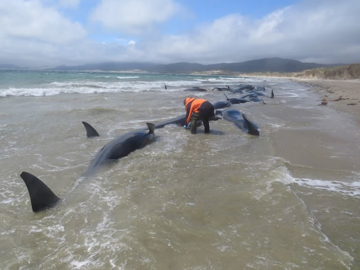 近150头巨头鲸在新西兰斯图尔特岛岸边搁浅