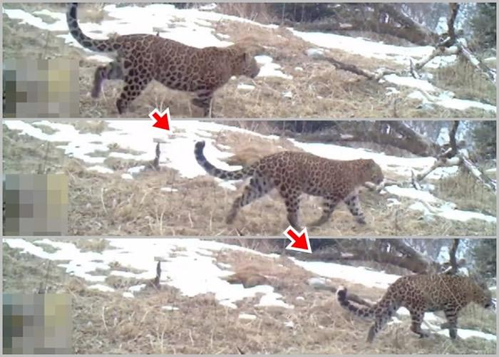 陕西省宝鸡市太白县黄柏原国家级自然保护区红外线相机意外拍到国家一级保护动物金钱豹