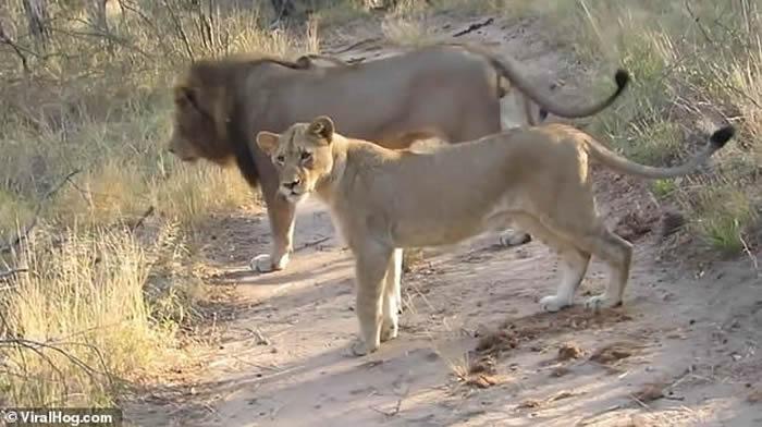 南非野生动物公园两只蜜獾竟与一个狮子家庭对峙