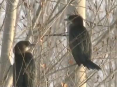 百年一遇!新疆玛纳斯国家湿地公园发现40多只濒危稀有鸟类侏鸬鹚