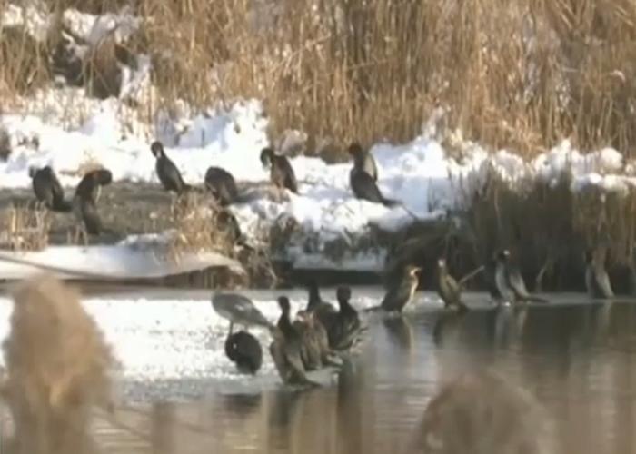 40多只侏鸬鹚现身新疆玛纳斯国家湿地公园。