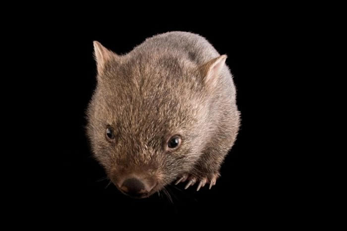 希尔斯维尔保护区(Healesville Sanctuary)里一只年轻的塔斯马尼亚袋熊(Vombatus ursinus tasmaniensus)。这种动物