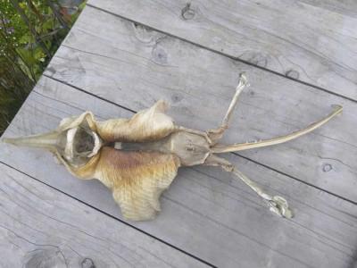 新西兰基督城海滩发现超古怪生物遗骸 专家称:新西兰斑鳐