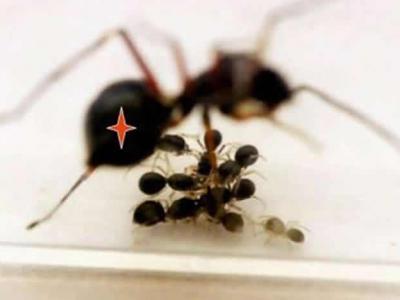 跳蛛妈妈会持续照顾早已有能力自己捕食的后代