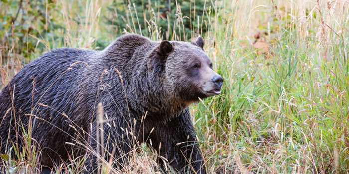 加拿大育空地区男子途中射杀灰熊 回家后惊见妻女陈尸小木屋外