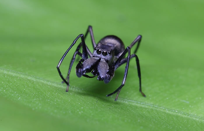 大蚁蛛(Toxeus magnus)
