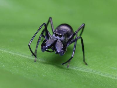 """中国科学家首次发现名为大蚁蛛(Toxeus magnus)的跳蛛具有""""哺"""