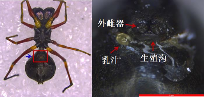 显微镜下大蚁蛛的生殖沟及乳汁