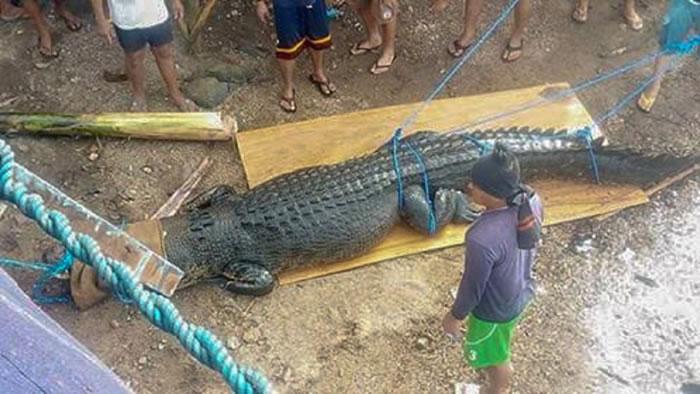 """可能刚刚""""吃过人""""!菲律宾巴拉旺省巴拉巴克岛捕获巨型咸水鳄"""