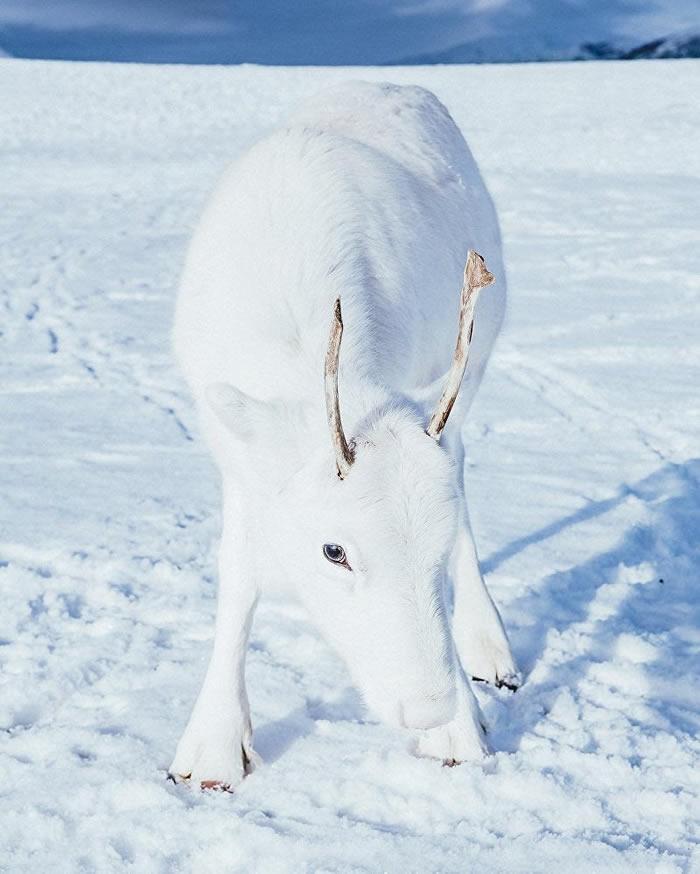挪威奥斯陆摄影师在郊外聚会时拍到一头独特的白鹿