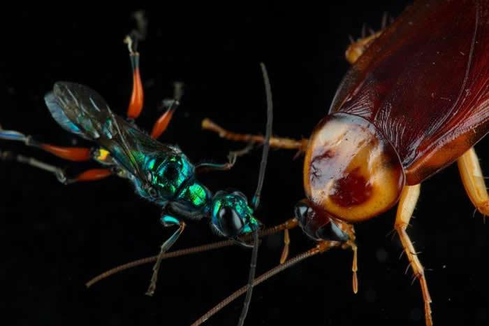 扁头泥蜂把蟑螂变成僵尸育婴房。这种蜂会将毒液注入蟑螂脑部,借此控制蟑螂的行为,甚至连扁头泥蜂在蟑螂体内产卵、卵孵化成幼虫后会从蟑螂体内开始一路吃出去也没问题。