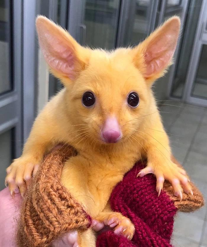 """澳大利亚墨尔本野外发现口袋妖怪""""皮卡丘"""":颜色发生突变的负鼠"""