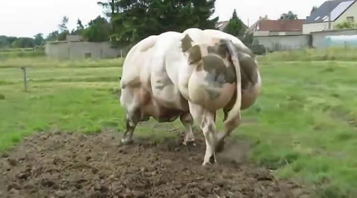 """""""双倍肌肉""""基因变异令比利时肌肉牛出现"""