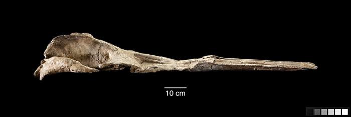 3300万年前渐新世时期的古鲸Maiabalaena nesbittae是须鲸和齿鲸的中间形态