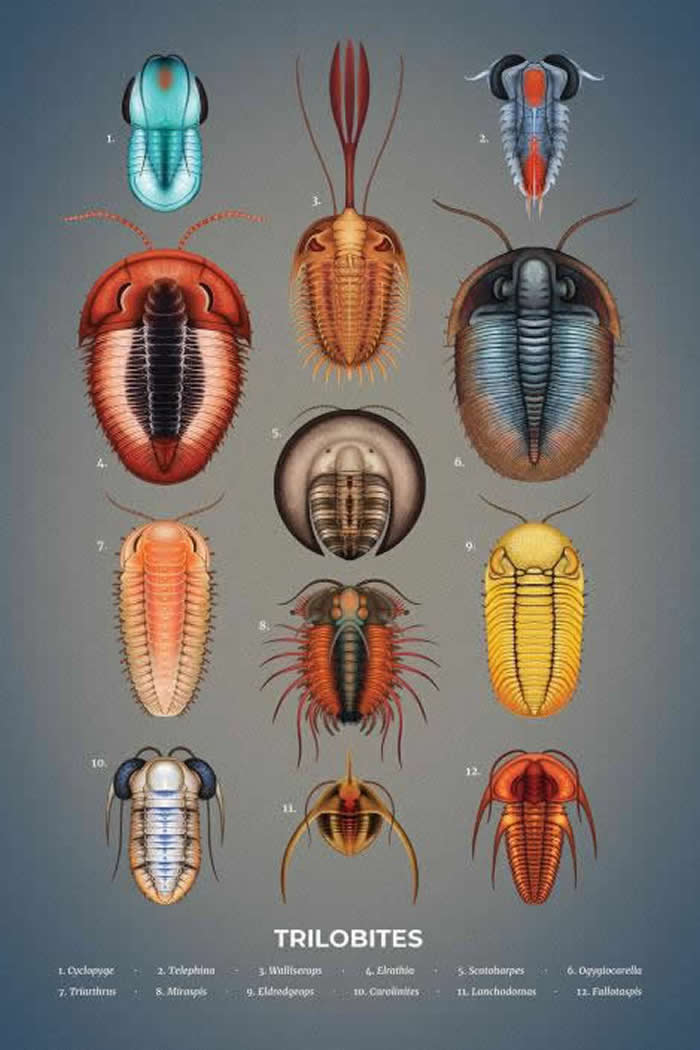 三叶虫 - 三叶虫出现在约5.2亿年前的寒武纪,并且在全球扩散增生,直到2.5亿年前的二叠纪才迎接它们的末日。 「史前海洋里危机四伏。自我防卫的需求催生出了许多