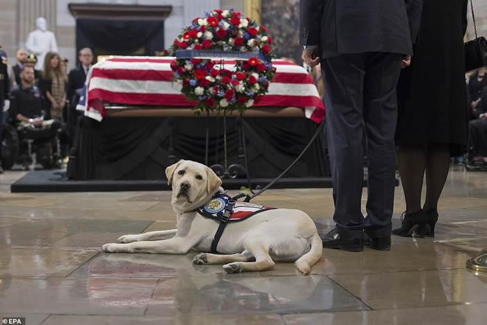 """美国前总统老布什逝世 拉布拉多寻回犬""""萨利""""伏在主人灵柩前令人动容"""
