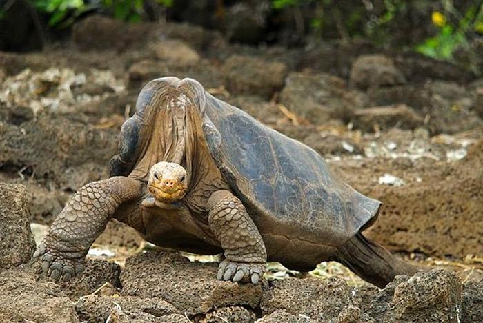 """""""寂寞乔治""""(图)的基因样本,揭示出象龟长寿的秘密。"""