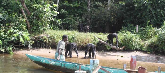 美国在非洲赖比瑞亚野放感染传染病的实验室黑猩猩 惊传变成食人族!