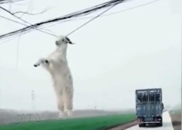 货车转弯时,不慎将车上的一只羊挂在电线上。