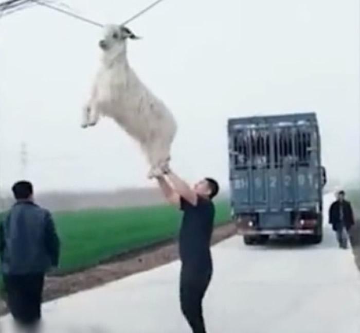 """货车司机发现后倒车,把羊""""解救""""下来。"""