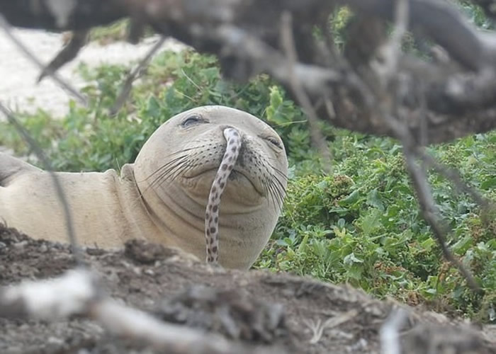 美国夏威夷西北部法国军舰环礁发现年幼僧海豹鼻子竟塞一条鳗鱼