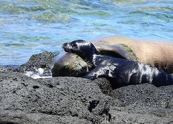 夏威夷僧海豹为濒危物种。