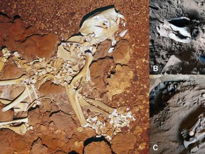 《PLOS One》:澳大利亚弗林德斯大学古生物学家重建袋狮完整骨骼