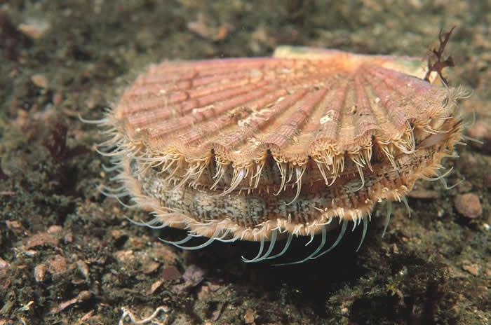 英格兰捕获的巨海扇蛤,吃下肚子会怎样?