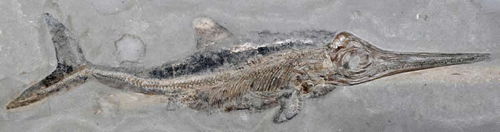 德国霍尔茨马登的页岩采石场出土过许多1亿8000万年前的海洋生物化石,其中包括上千具长得像海豚的爬行动物鱼龙,例如这只狭翼鱼龙亚成体。 <br>现在,学者正在分析另一具来