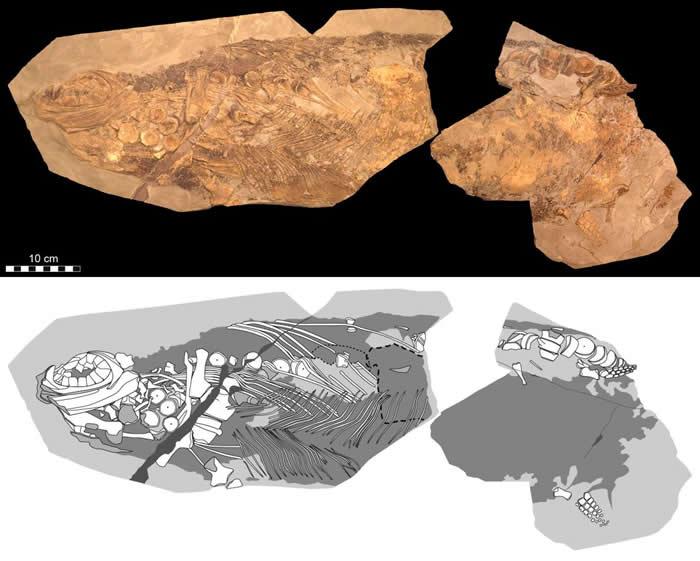 摄影(上)与示意(下)图片展示出新研究中这只狭翼鱼龙的细节。 <br>它的颅骨躺向左侧。 <br> PHOTOGRAPH BY JOHAN LINDGREN