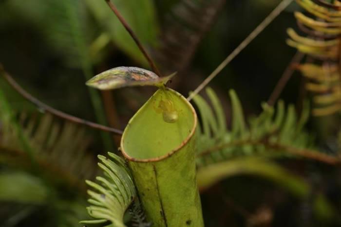一只成年雌性蟹蛛在小猪笼草的笼口守株待兔,它的前肢大开,摆出典型的伏击姿势。 PHOTOGRAPH BY WENG NGAI LAM, NATIONAL UNI