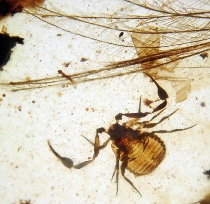 """缅甸琥珀中发现极为罕见的携播现象:一类叫伪蝎的蛛形纲动物会""""搭车"""""""