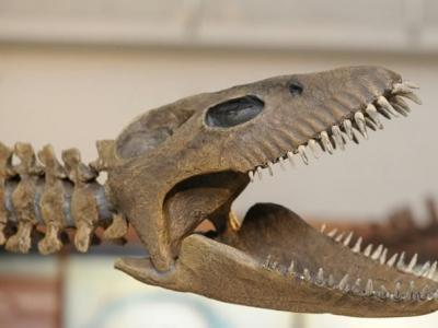 罕见蛇颈龙骨架化石亮相阿根廷自然科学博物馆