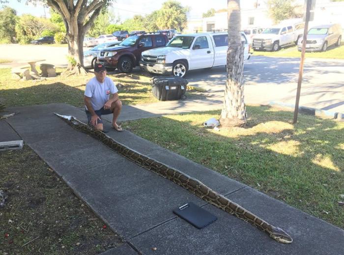美国佛罗里达州蟒蛇&n日本怎么看海贼漫画bsp;