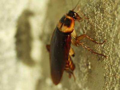 昆虫来帮忙:蟑螂如何成为垃圾回收小助手