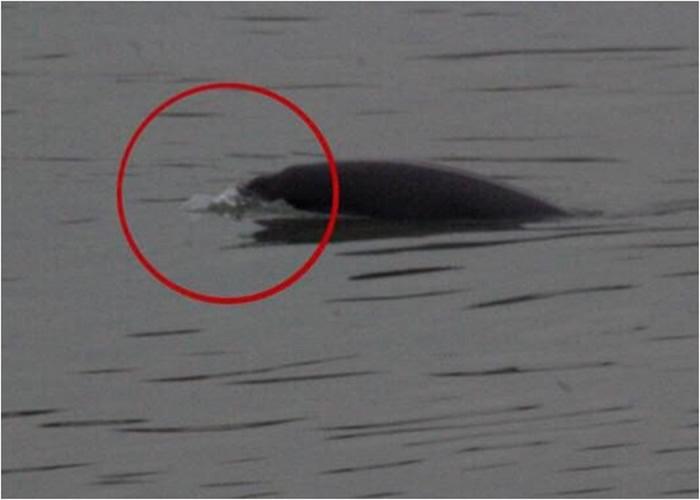 市民在江边散步时拍摄到疑似白鳍豚。