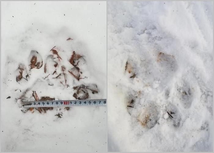相隔4年后,舒兰市林区内再次出现野生东北虎足印。
