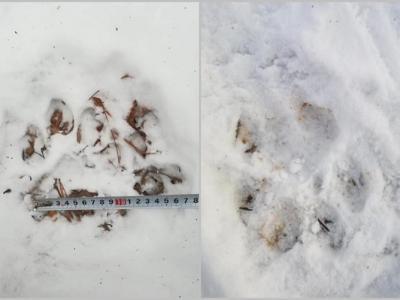 吉林省舒兰市林区疑再现野生东北虎足迹和绒毛