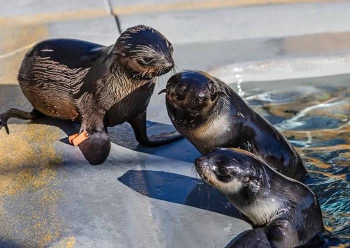 根据新西兰法律,骚扰或伤害海狗(图)均属犯罪行为。