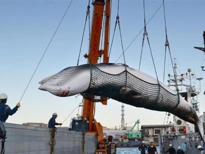 日本政府或退出国际捕鲸委员会 重启商业捕鲸