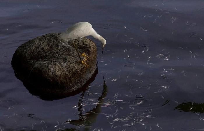 雀鸟到湖边吃鱼。 <br>