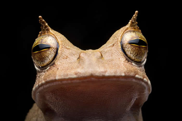 自2005年起,角囊蛙就未在厄瓜多被人发现,直到2018年为止。它的角状「眉毛」,以及利用身上的囊携带蛙卵使后代跳过蝌蚪阶段的能力,都让它十分不寻常。 PHOT