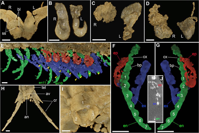 使用高精度显微CT显示的寒武纪多节耳材村虫身体各部分精细形态结构。E,右侧胸部附肢背面观,经三维可视化软件渲染。绿色部分为内肢,蓝色部分为外肢,红色部分为上肢(