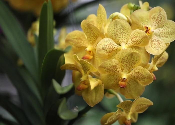 很多生于澳洲南部的兰花品种濒临绝种。