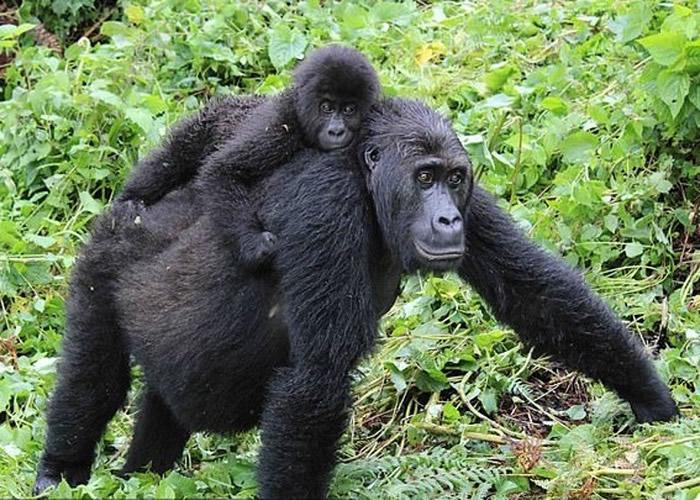 研究指格劳尔大猩猩基因变异 趾间长蹼和抗疫力下降