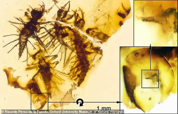 """昆虫""""破卵器""""的首个化石证据:黎巴嫩琥珀中发现4只1.3亿年前刚刚孵化的昆虫"""