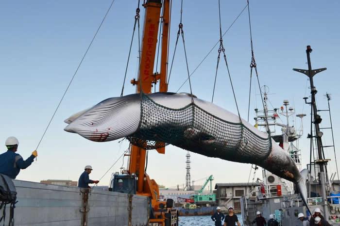 就像照片中在日本港口被拖上岸的这只,小须鲸已经成为日本「科学捕鲸」计划的对象之一。 PHOTOGRAPH KYODO NEWS, GETTY