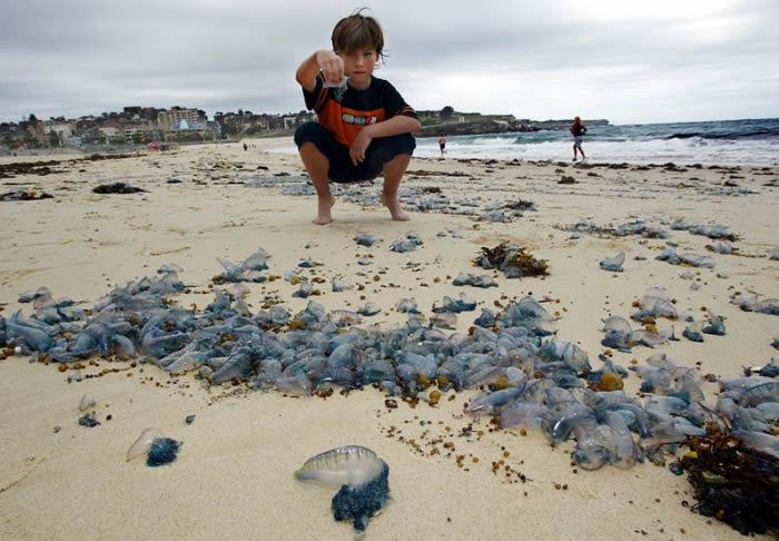 诡异怪风将僧帽水母吹往澳洲昆士兰海滩 一个月内就有逾2万3000人遭蜇伤