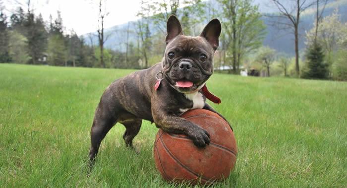 英国养犬俱乐部:法国斗牛犬和哈巴狗正在取代苏格兰梗犬