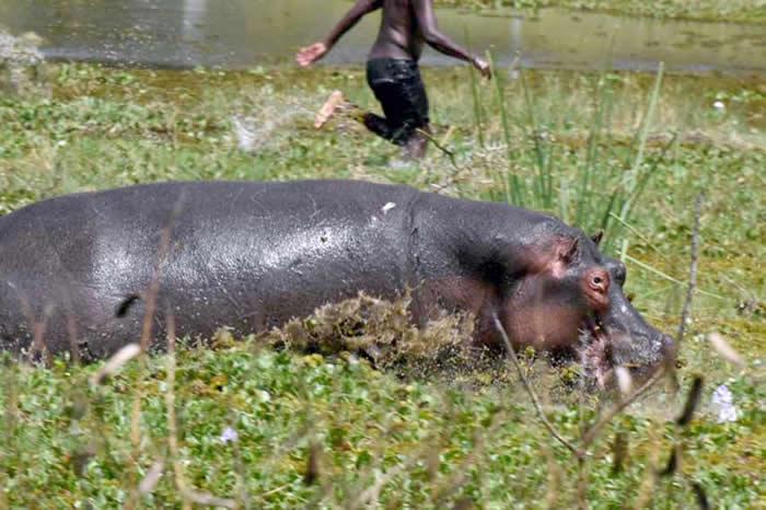 意大利摄影师在肯尼亚拍下恐怖瞬间:渔民在水中遭河马攻击 只剩脚在水面上